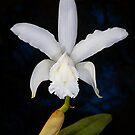 White Cattleya by Richard  Windeyer