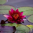 Water Lily by Trevor Kersley