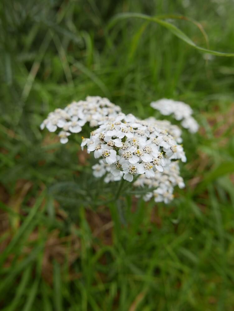 Yarrow (Achillea millefolium) by IOMWildFlowers