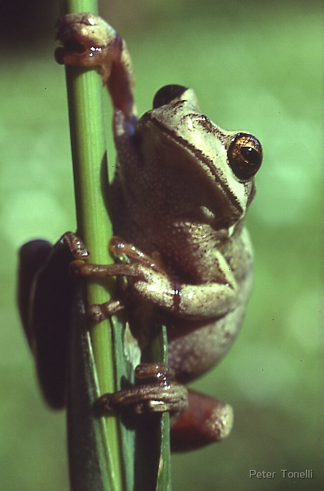 Ewing's tree frog by Peter  Tonelli
