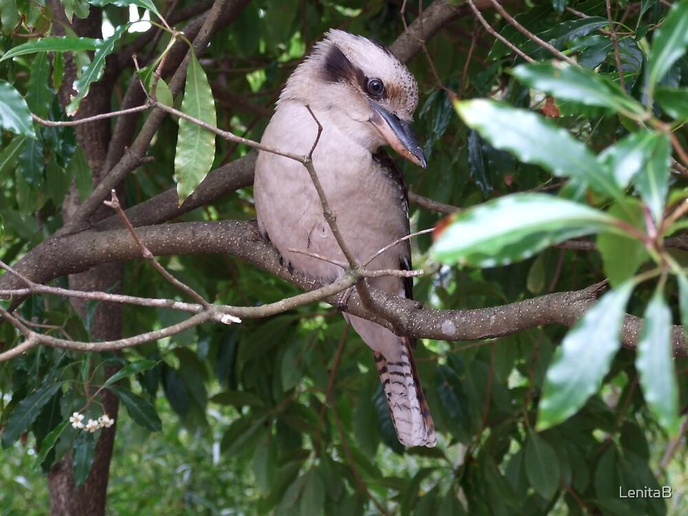 cheeky kookaburra by LenitaB