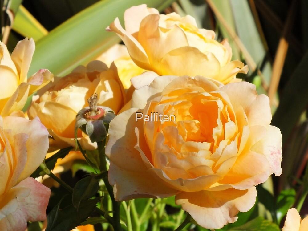 Peach Rose by Pallitan
