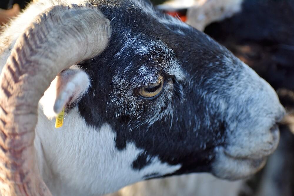 Blackface Sheep by morvenjamieson