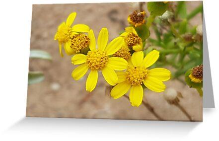 Yellow Daisy Cactus Beach SA by heleny
