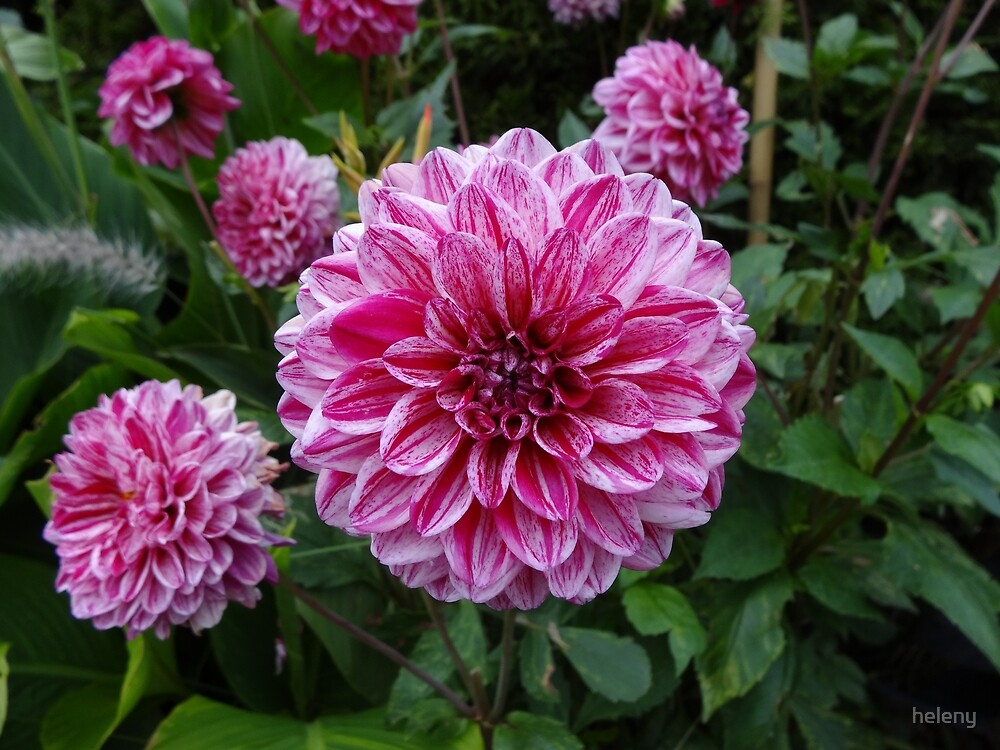 Pink puff flowers Casa Loma Toronto Canada by heleny
