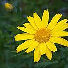 A bright yellow Daisy......!! by Roy  Massicks