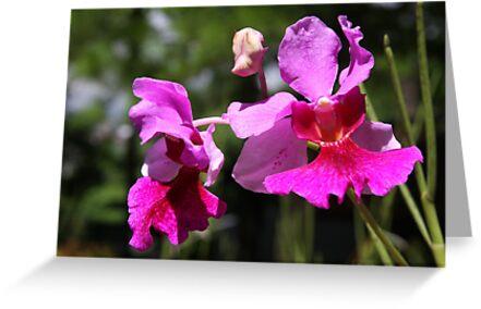 Vanda Miss Joaquim Orchid Singapore by heleny