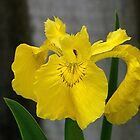Iris.....golden glow........!! by Roy  Massicks
