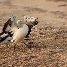 Pelican Stomp by Jenny Dean