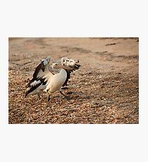 Pelican Stomp Photographic Print