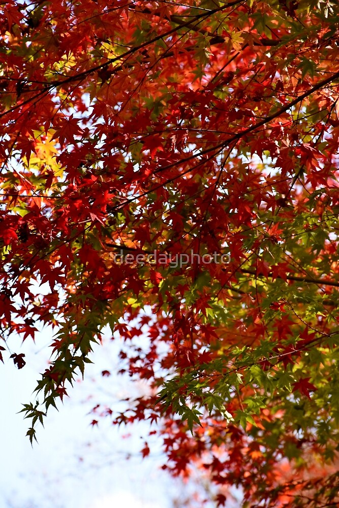 The Changing Leaves of Kyoto - Part 1 by deedayphoto