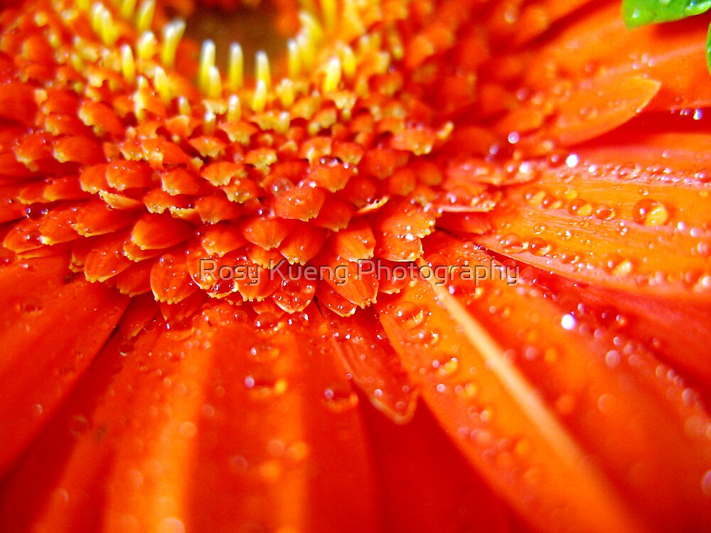 Gerbera on fire by Rosy Kueng Photography