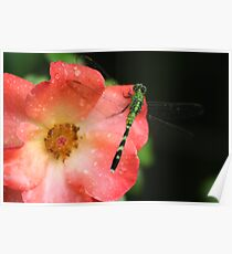 dragon fly on rose Poster
