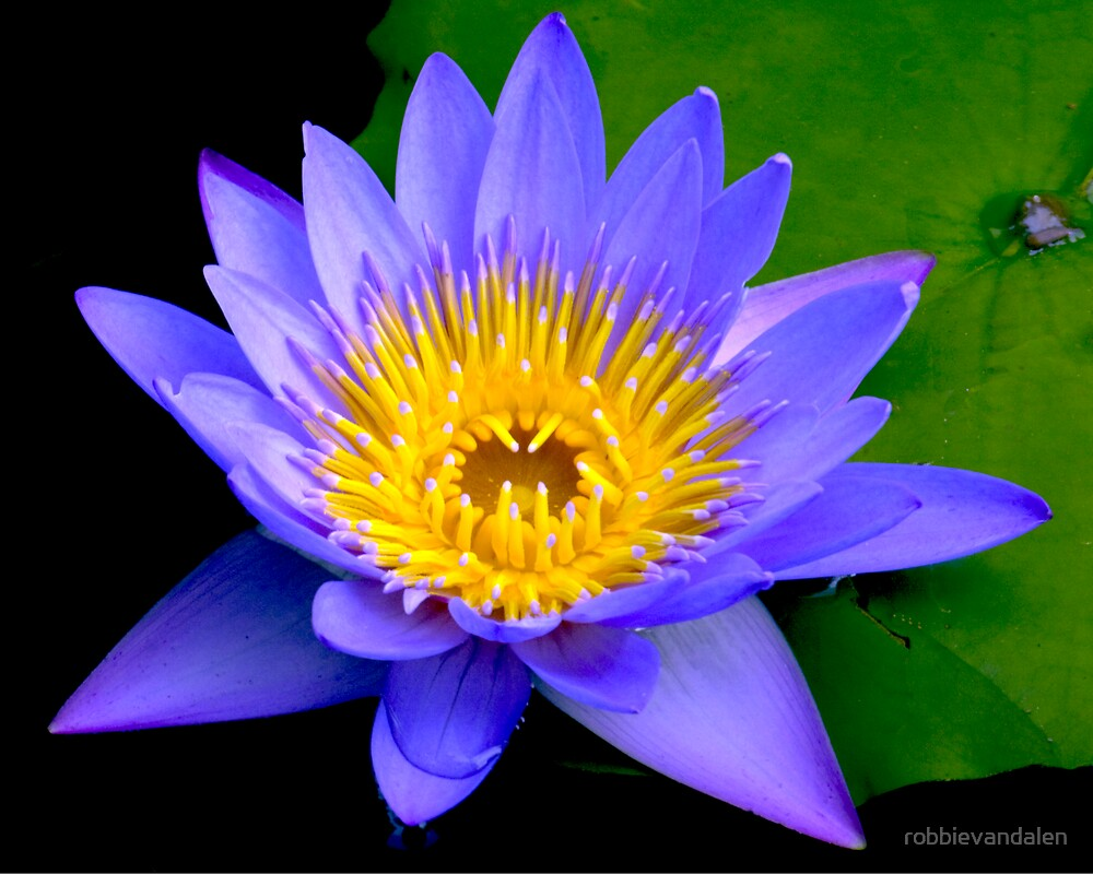 Water Lily  2 by robbievandalen