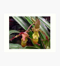 Slipper Orchid Art Print