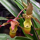 Slipper Orchid by psphotogallery