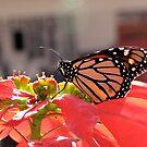 Beautiful Monarch Butterfly by Jan  Wall