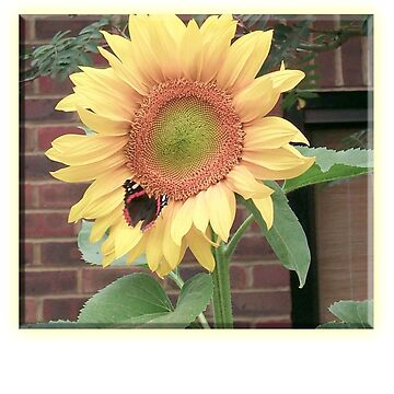 SUNFLOWER, Butterfly, Environment, English Country, Garden by TOMSREDBUBBLE