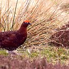 Red Grouse #2 by Trevor Kersley
