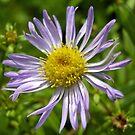 michaelmas daisy by dinghysailor1