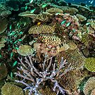 Acropora by David Wachenfeld