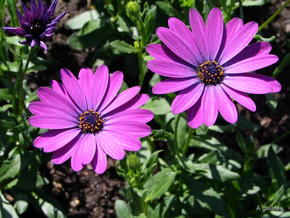 Purple Sunshine by A Bewley