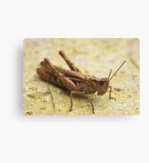 Common Field Grasshopper Canvas Print