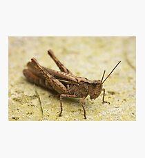 Common Field Grasshopper Photographic Print