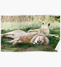Pair of White Lions Poster