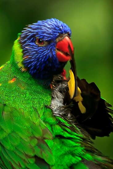Rainbow Lorikeet III by Didi Bingham
