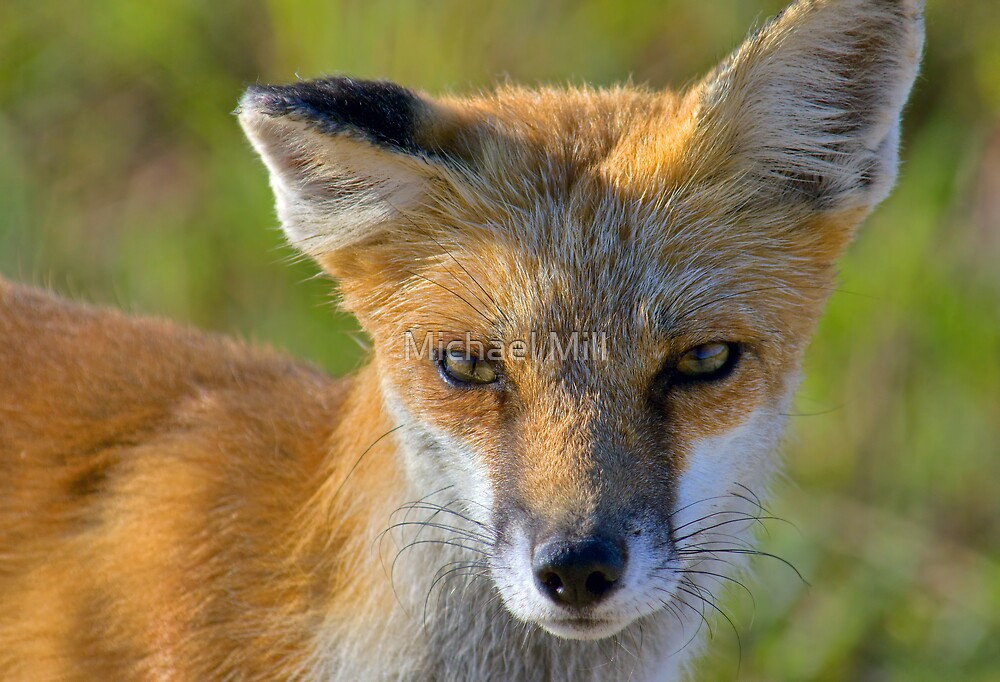 Red Fox by Michael Mill