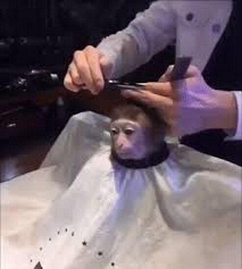 Corte de pelo a un mono