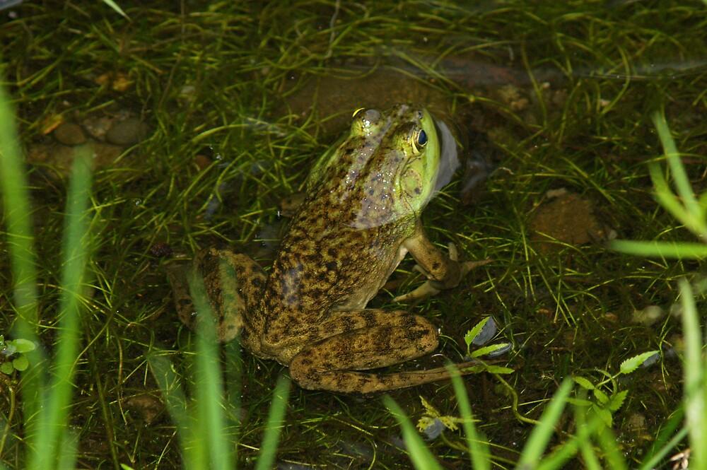 Frog by Dsubjoc