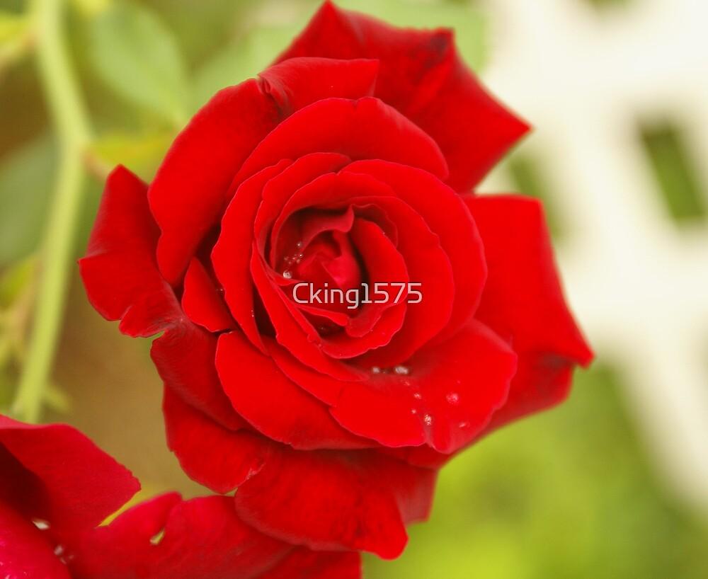 Red Rose by Cking1575