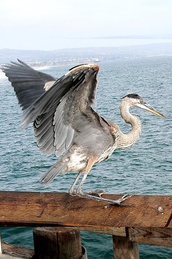 Great Blue Heron taking off at Newport Beach, California by Liz Wear