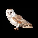 English Barn Owl by Dave  Knowles
