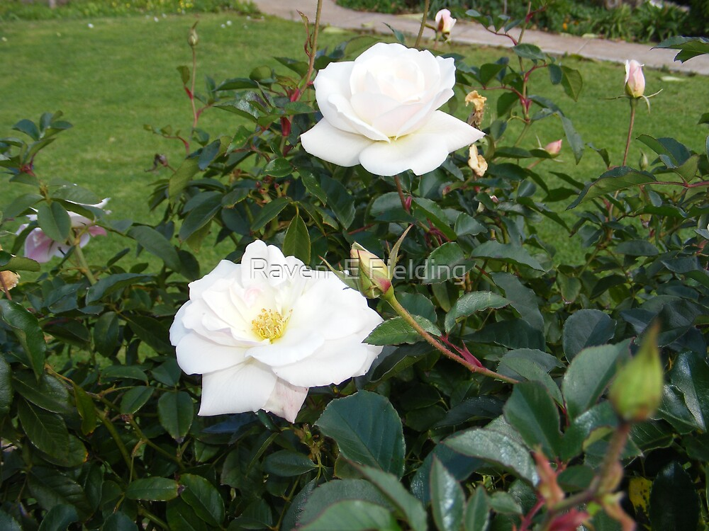 White Roses by Raven Fielding