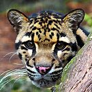 Face of a Clouded Leopard by Dave  Knowles