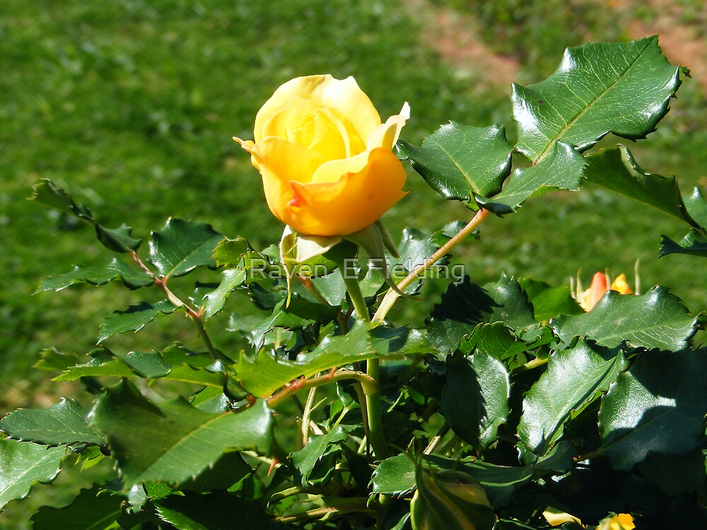 A Single Yellow Rose by Raven Fielding