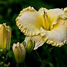 """First Knight"" Daylily by Michael Cummings"