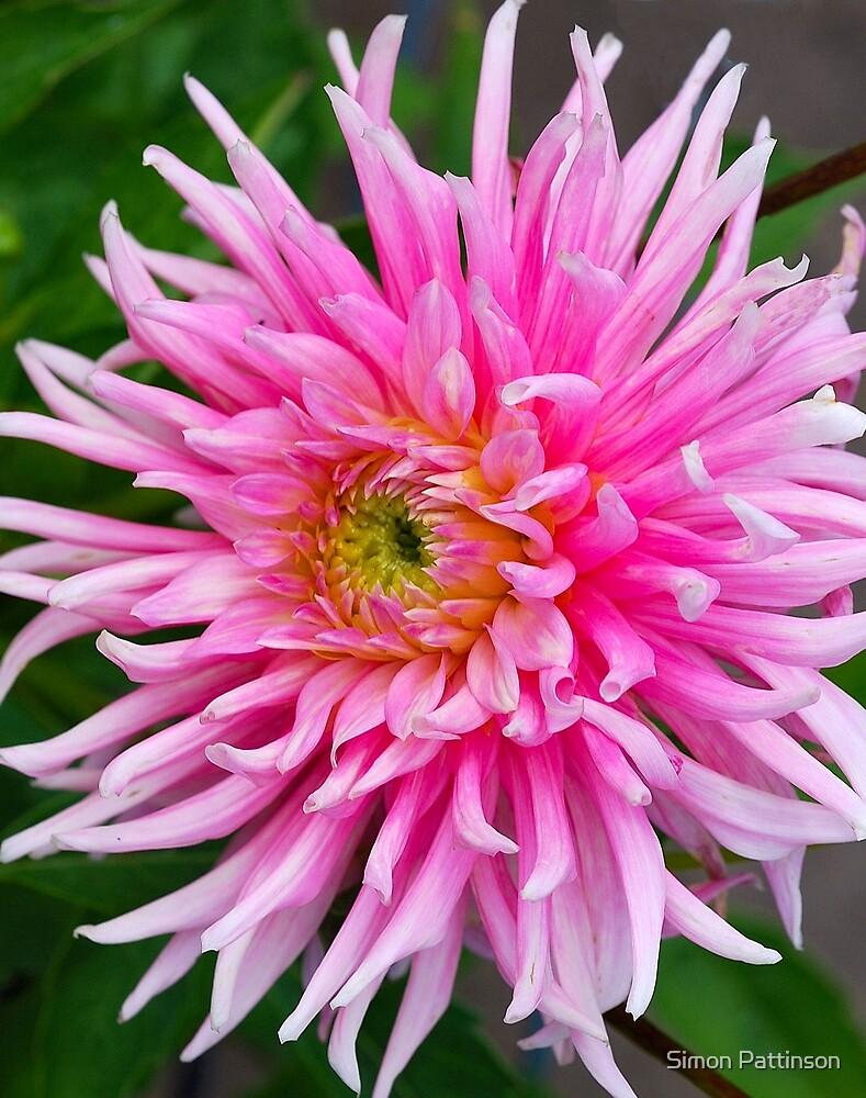 Pink Dalia by Simon Pattinson