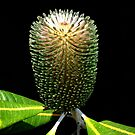 Bottlebrush or Banksia something-or-other!! by Magee