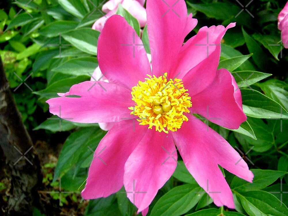 Pink flower by Shulie1