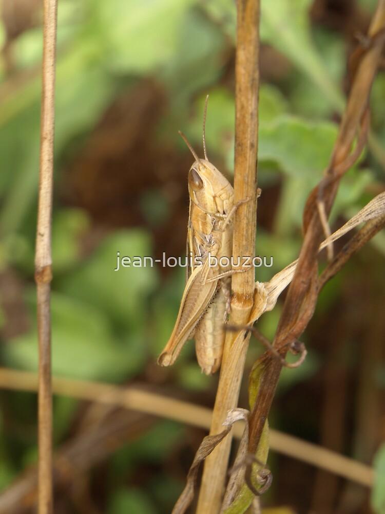 Little locust by jean-louis bouzou