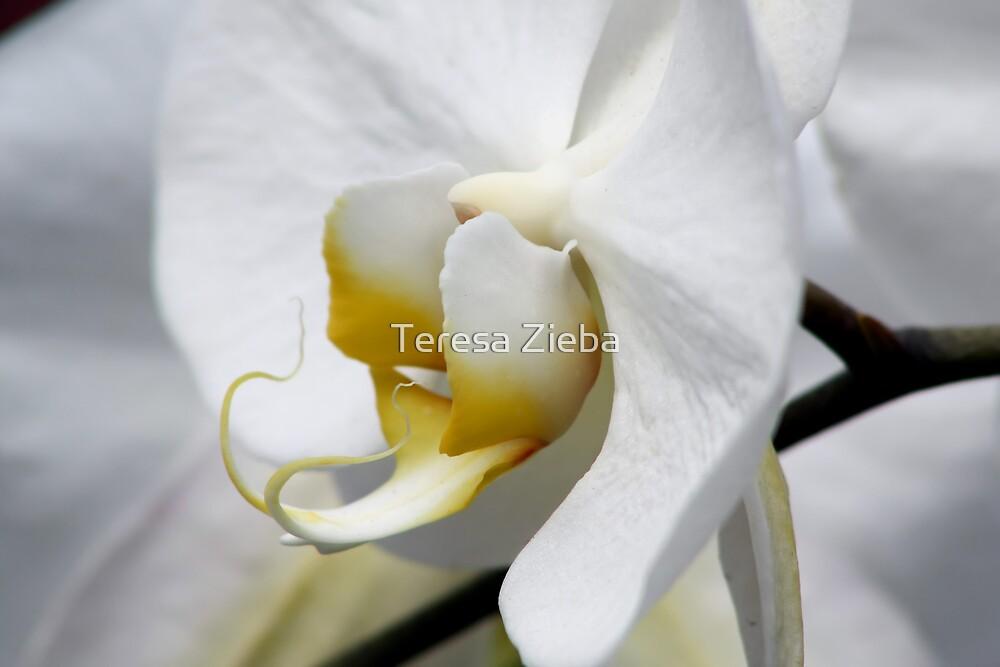 Simply White by Teresa Zieba