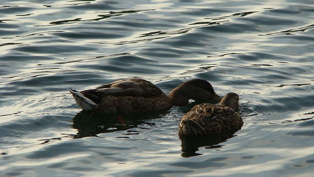 Ducks by Michael Williams