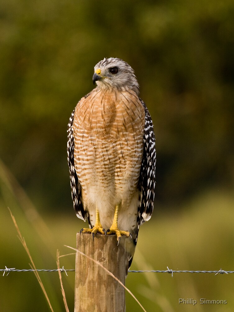 Red Shouldered hawk by Phillip  Simmons