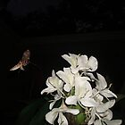 INCOMING!  HUMMINGBIRD MOTH IN GINGER LILIES by May Lattanzio