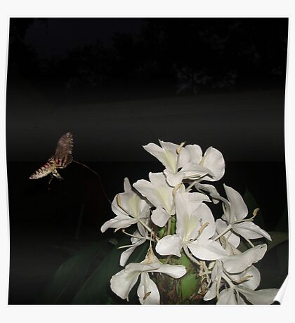 INCOMING!  HUMMINGBIRD MOTH IN GINGER LILIES Poster