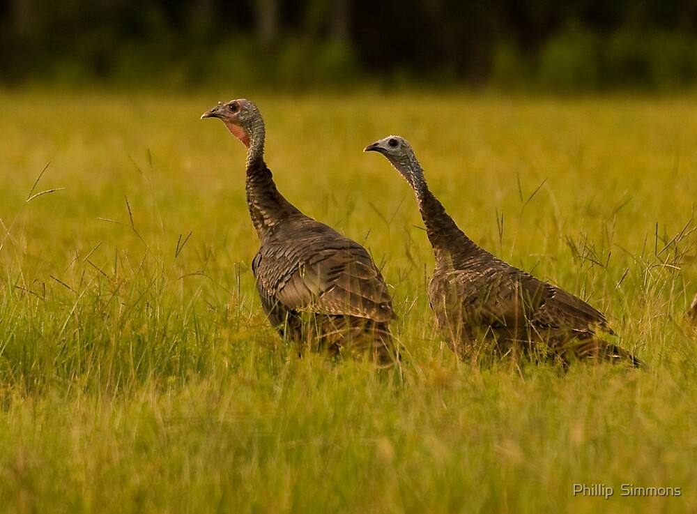 Osceola Turkeys by Phillip  Simmons